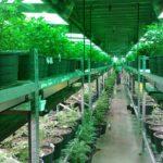高樹沙耶が賞賛する大麻を合法化させたレジェンド達