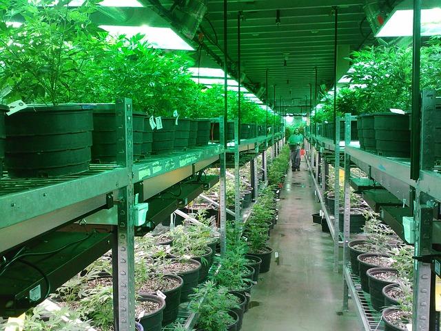 医療大麻と高樹沙耶